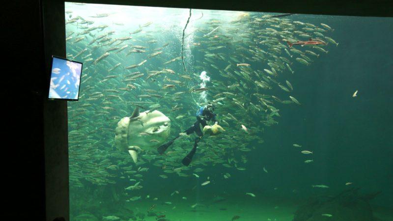 Et naturlig høydepunkt: Når det er tid for mating av fiskene i Oceanariet «Det åpne hav» samler publikum seg foran de tjukke glassveggene. Dykkeren sørger alltid for å fortelle hva han driver med og filmer hele seansen.